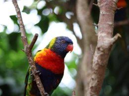 Amazone papegaai